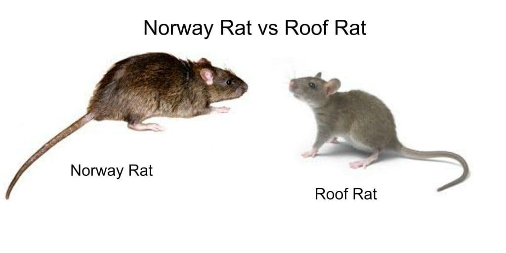 Roof Rat vs Norway Rat Control 1 Burlington