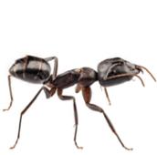 ant control pest control Burlington