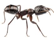 carpenter ant control Burlington