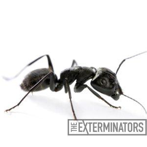 carpenter ant pest control Burlington