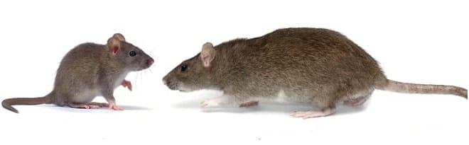 mouse and rat pest control Burlington