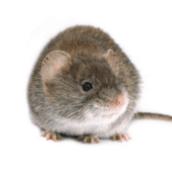 mouse control pest control Burlington