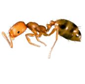 pharaoh ant control Burlington