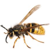 wasp control Burlington