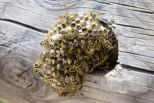 wasp nest removal Burlington