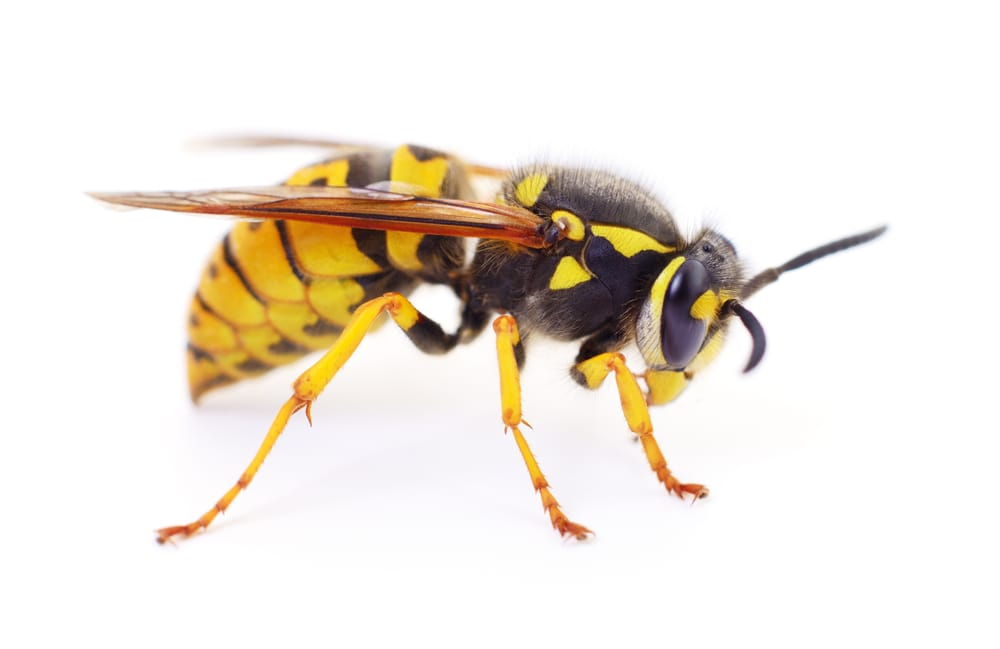 wasp removal service Burlington