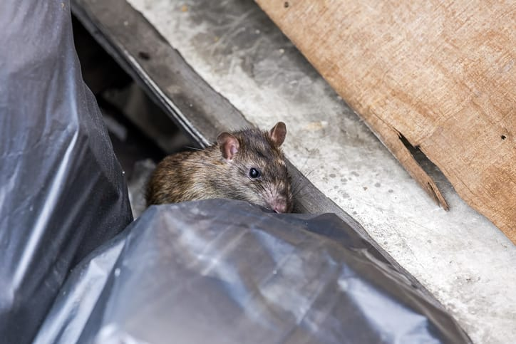 Is it normal to find rats in a restaurant-ib