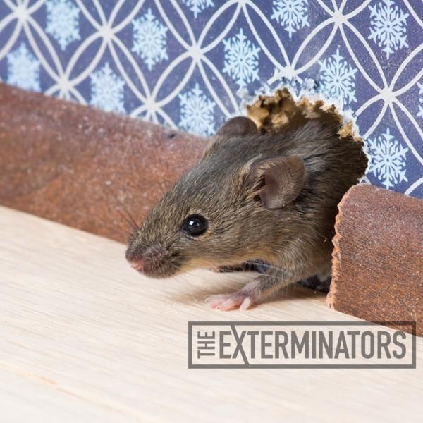 Is mice urine poisonous-ib
