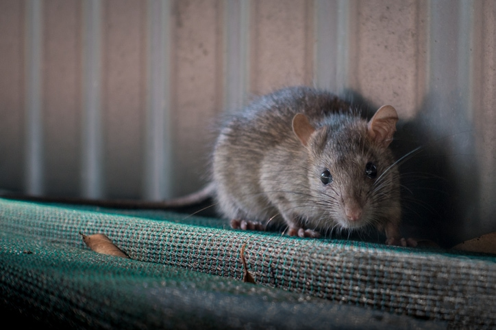 What are the effective rat control solutions?