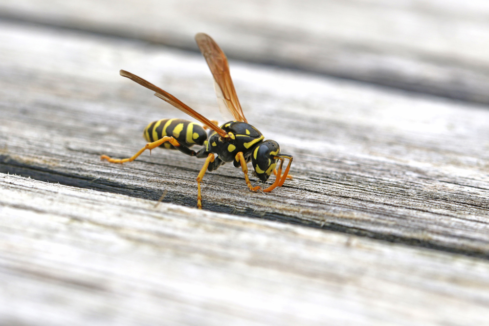 What can I plant in my garden to keep wasps away?