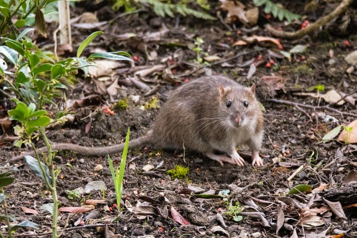 What causes rat infestations at home