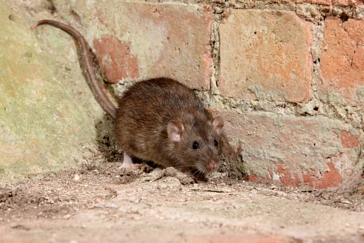 What diseases are spread by rats