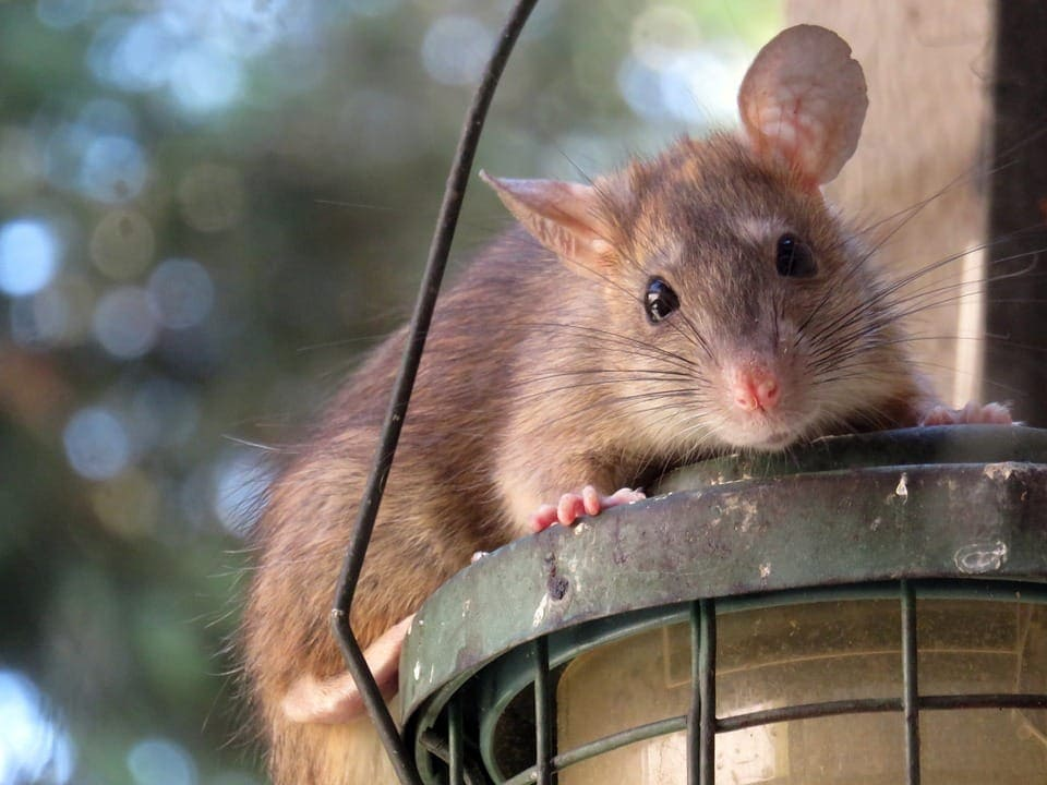 What happens to rats after they eat poisoned bait