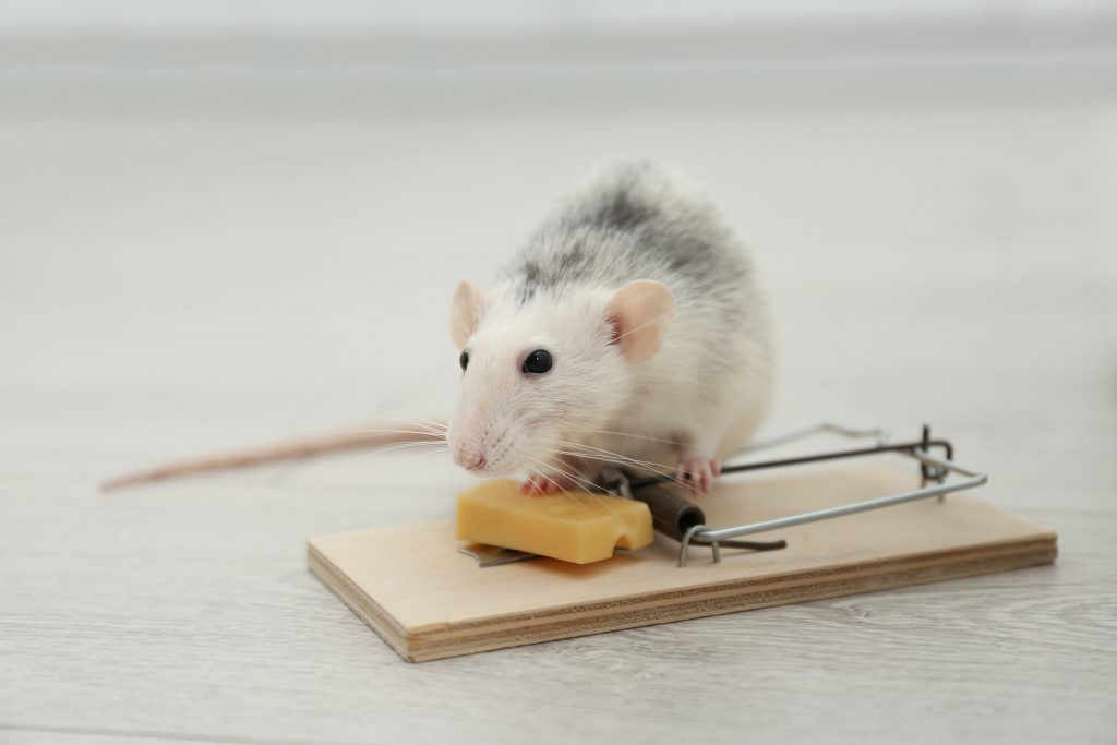 Can I use Mouse Snap Traps on Rats