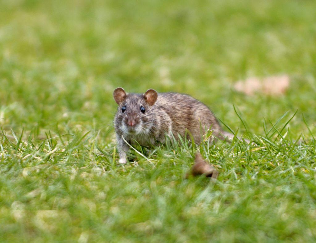 Managing Rat Nests Found Under Your Deck