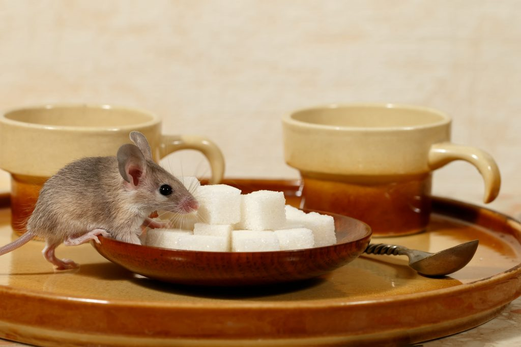 The Dangers of Mice in Your House