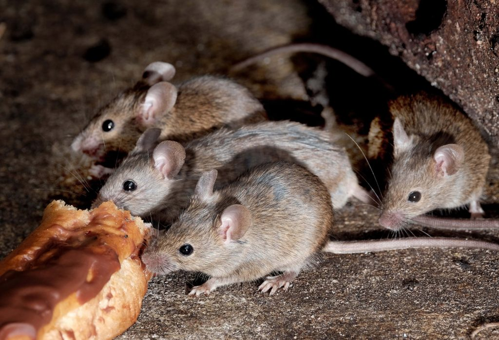 What can I do as a Restaurant Owner to Keep Mice Away