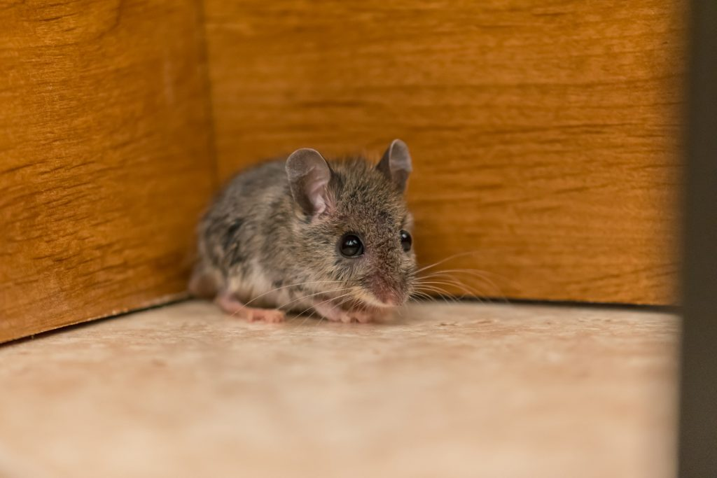 Why One Mouse Keeps Coming in my Bedroom