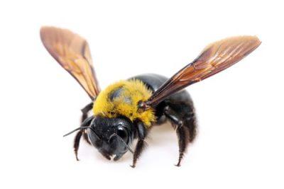 Carpenter Bees Burlington