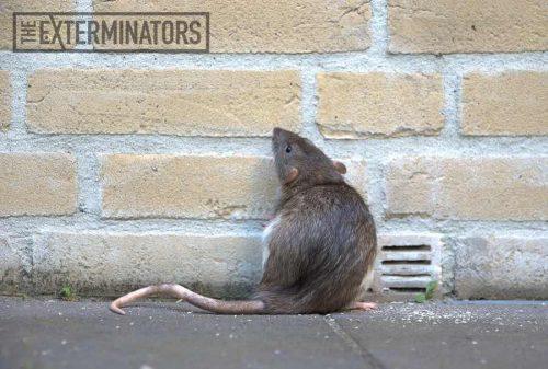 rat removal Burlington