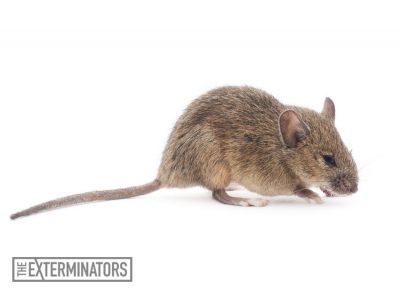 rodent extermination mouse control Burlington